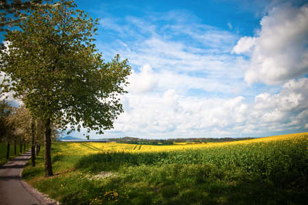 Spring blossom trees walkway with canola field landscape in Shropshire, UK photo