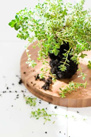 worktop: Silver thyme herbs in soil on tiled worktop