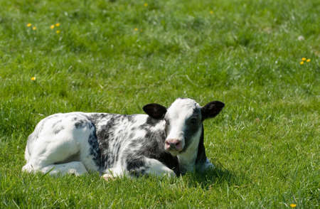 Baby friesian cow lying in summer meadow photo