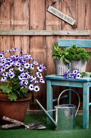 terracotta: Senetti flower in terracotta pot with garden tools outside the potting shed Stock Photo