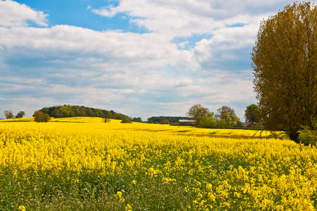 British summer canola field in countryside  Stock Photo - 7257411