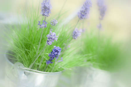 Soft and dreamy image of lavender - very shallow depth of field Stock Photo - 7285194