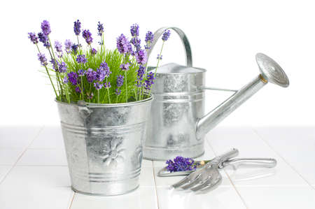watering garden: Lavender in a metal flower bucket with watering can in background Stock Photo