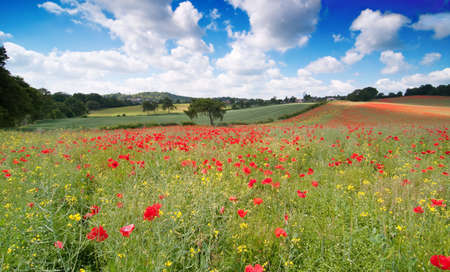 poppy flowers: Poppy field landscape in English countryside with rolling hills