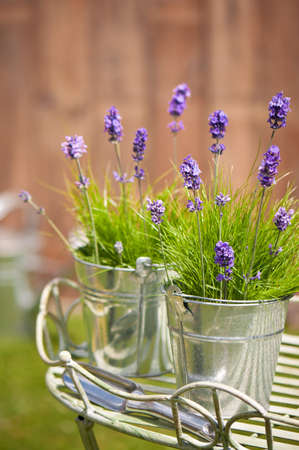 Buckets of lavender flowers amonst grass in the garden with trowel, watering can in background photo