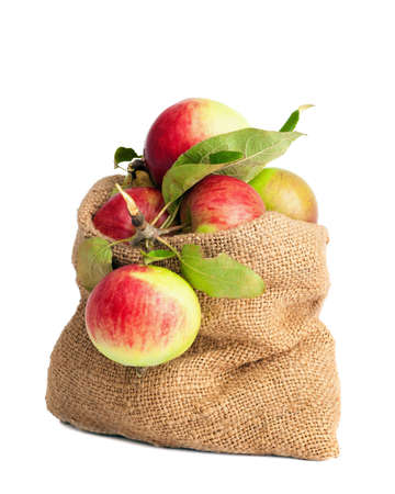 orchards: Freshly cropped rustic orchard apples in burlap sack on white background Stock Photo