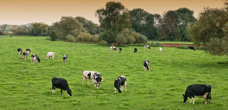 dairy cow: Herd of black and white Frieisan cows grazing in a field Stock Photo