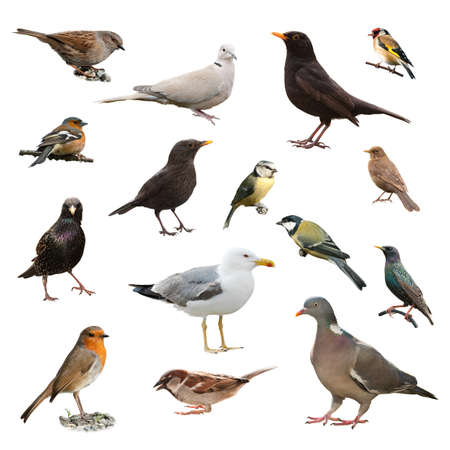 paloma blanca: Collage de aves jardín británico aisladas sobre fondo blanco
