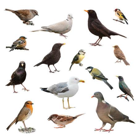 Collage of British garden birds isolated on white background Standard-Bild