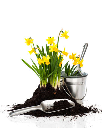 Spring planting - potting up daffodils with garden tools and pots