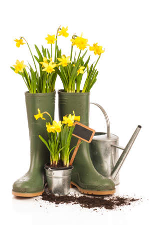 Spring planting with daffodils in wellington boots on white background
