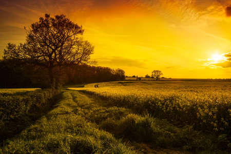 Canola field landscape in Shropshire, UK at sunset