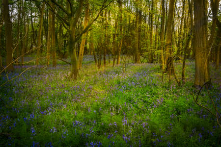 bluebells: A carpet of bluebells spreads out through the old woodland during the evening. Stock Photo