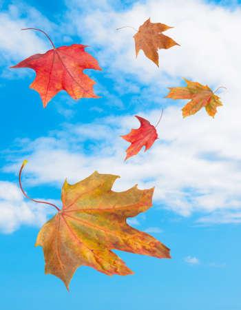 Vallende herfst esdoorn bladeren tegen blauwe hemel achtergrond