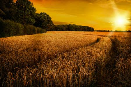 Ripening wheat in late summer sun in Shropshire fields, UK