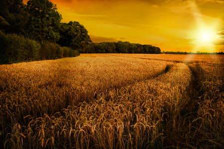 late summer: Ripening wheat in late summer sun in Shropshire fields, UK
