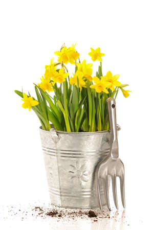 daffodils: Spring planting daffodils with garden fork on a white background