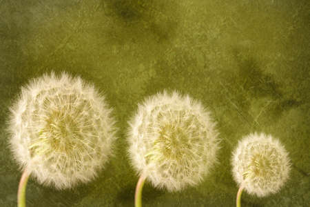 Three dandelion seed heads on green textured background photo