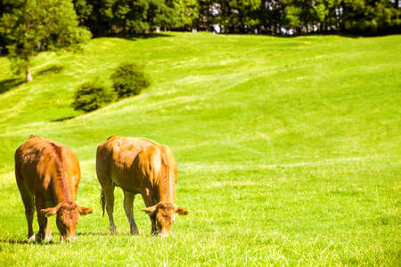 guernsey: Two cows grazing in lush farm meadow