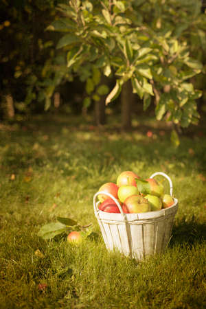 Basket of freshly picked apples in the orchard photo