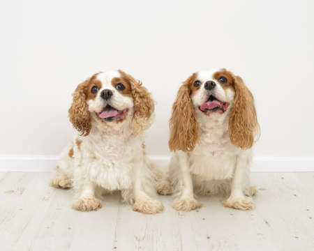 Two King Charles Spaniel dogs on a white background photo