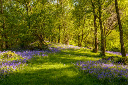 dappled: Carpet of bluebell flowers with dappled light Stock Photo