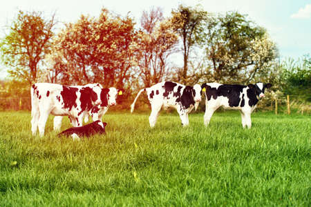 friesian: Dairy calves in lush spring field with sun flare filter effect