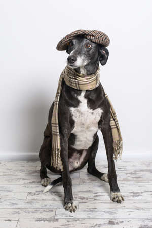 lurcher: Lurcher dog wearing flat cap and scarf Stock Photo