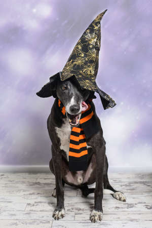 lurcher: Lurcher dog dressed for Halloween with witches hat