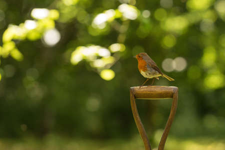 red breast: Little robin red breast bird sitting on a spade in the garden