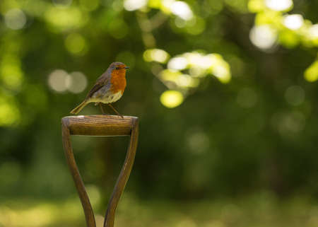 red breast: Robin red breast sitting on garden spade Stock Photo