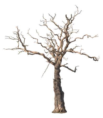 dode bladeren: Dode boom op een witte achtergrond Stockfoto