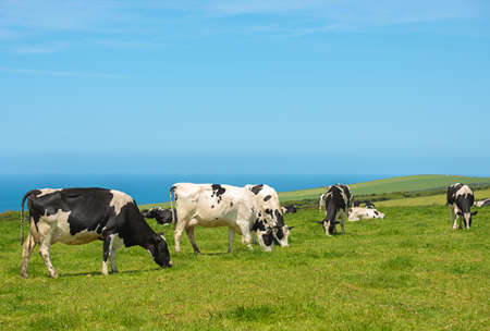 lush: Dairy cows in lush pasture in Cornwall, UK with blue ocean in background