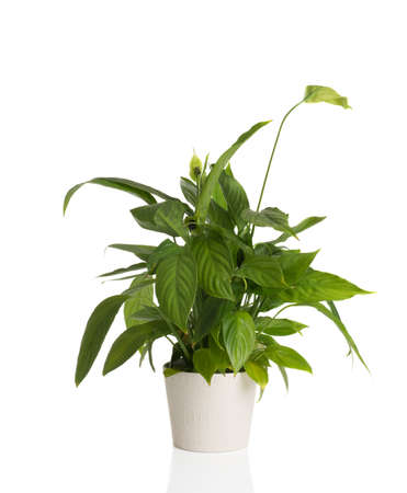 flowerhead: High resolution image of an African Peace Lily on a white background