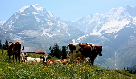 grassing: Cows grassing in the Swiss Alps  Stock Photo