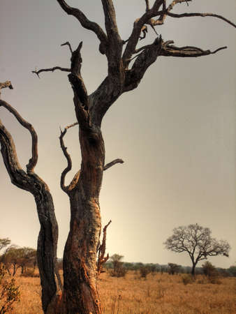 petrified: Petrified tree in Savannah.                               Stock Photo