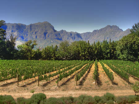 cape town: Vineyard in Cape Town