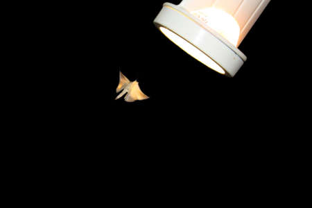 repellant: Moth flying toward light, isolated on a black background