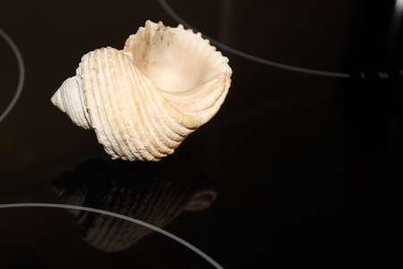 Sea shell captured on reflective black surface