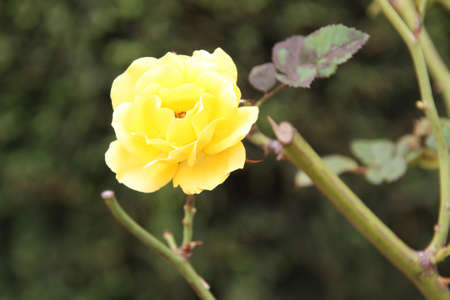 shurb: Pretty yellow rose against a green background of foliage Stock Photo