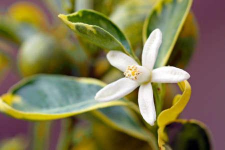 Macro shot of a perfect white orange blossom
