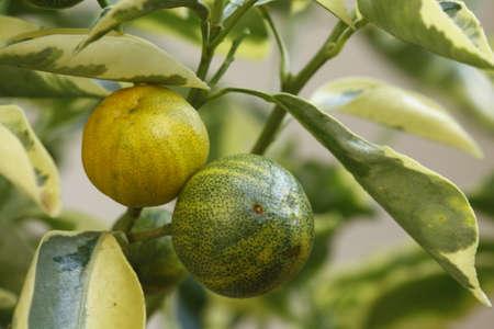 Macro of two ornamental oranges