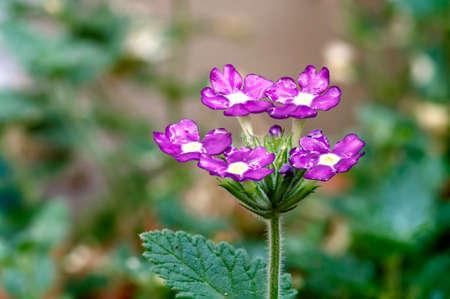 dainty: Dainty purple flowers