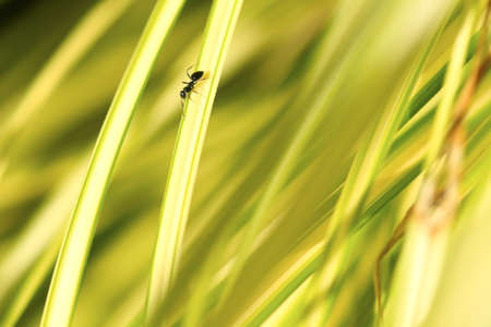 apocrita: Worker Ant on a long leaf in a garden Stock Photo