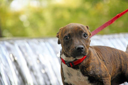 Staffordshire terrier puppy on a red lead Stock Photo - 4628181