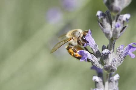 African (killer) bee harvesting a lavender flower photo