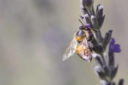 African (killer) bee harvesting a lavender flower Stock Photo