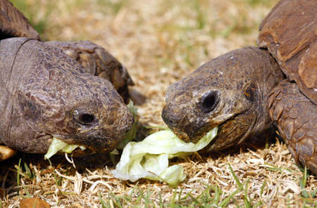Two Tortoises eating lettuce leaves Stock Photo