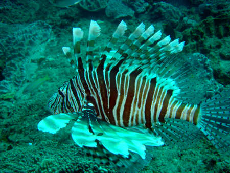 firefish: LionFish  Devil Firefish