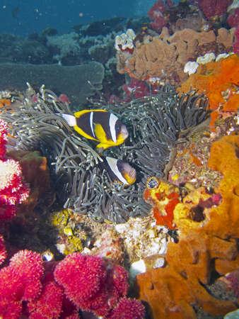 damselfish: two banded anemonefish  clownfish